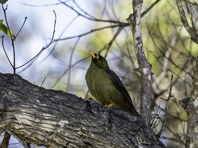 Bell Miner aka Bellbird (Manorina melanophrys)