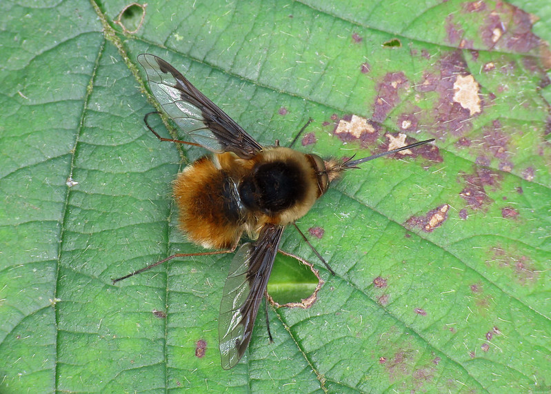 Bee Fly - Bombylius major