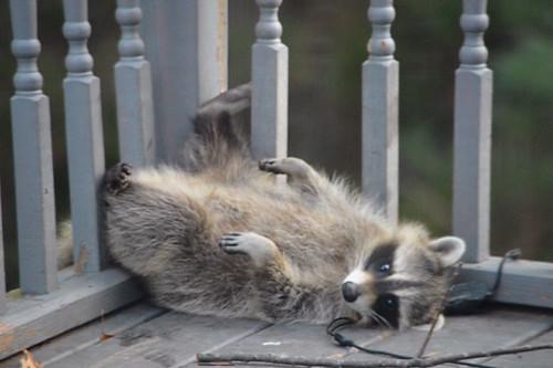 Tracy Stanton-Raccoon