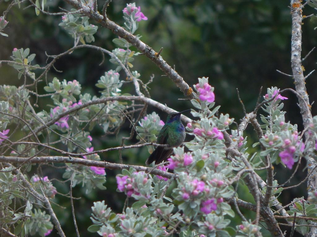 Mexican Violet Eared Hummingbird