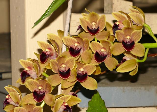 Cymbidium Fatal Beauty hybrid orchid 3-20