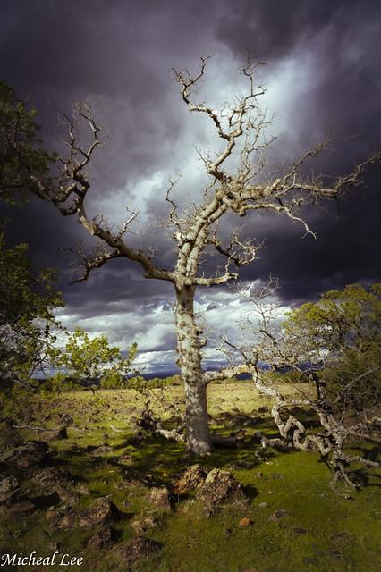 Ominous Oak