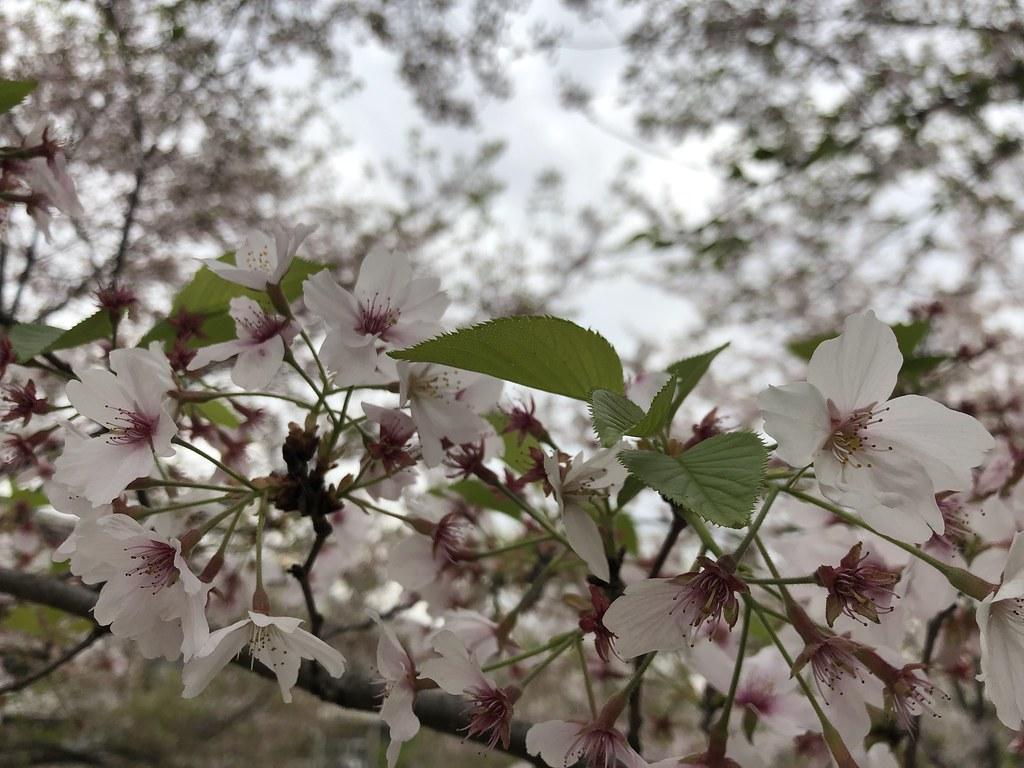 Shanghai Cherry Blossoms