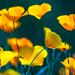 Poppies, Green and Gold