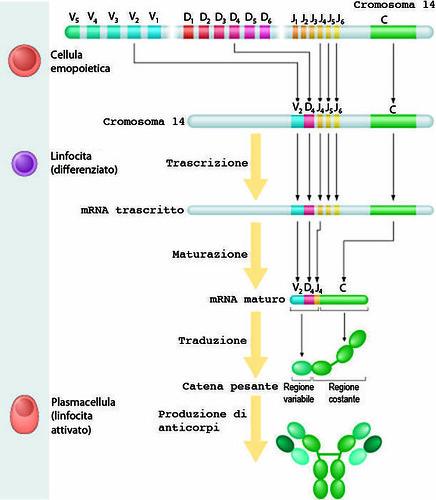 Fig. 5 Gli anticorpi son formati da catene proteiche