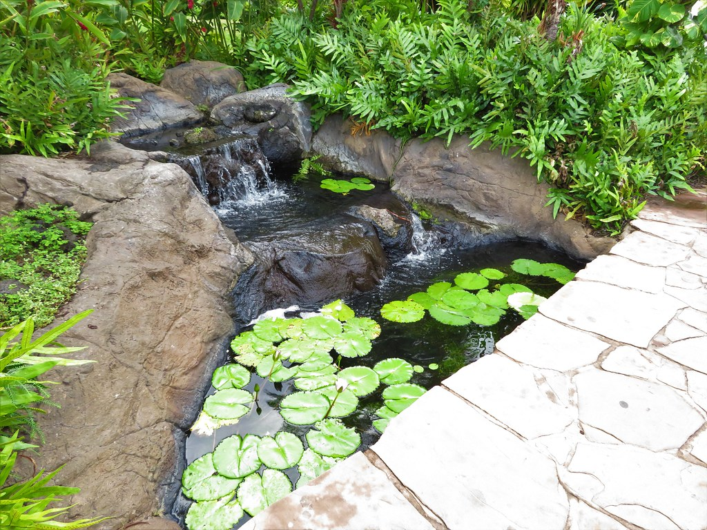 starr-200117-7336-Nymphaea_sp-in_water_feature-Wailea_Beach_Resort-Maui