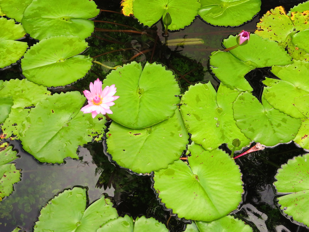 starr-200117-7352-Nymphaea_sp-flowers_pads_in_water_feature-Wailea_Beach_Resort-Maui