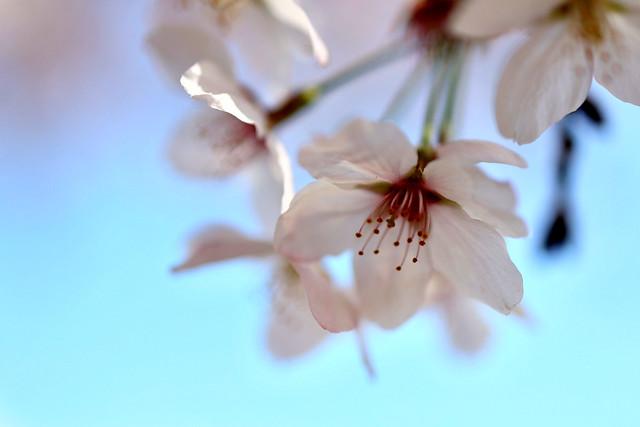 Cherry blossoms - ソメイヨシノ #10