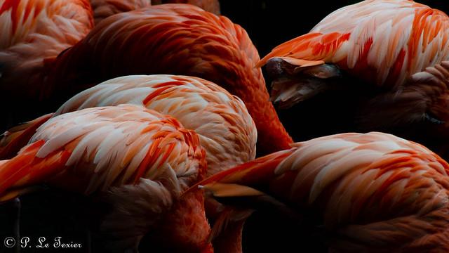 Les flamands rouge de Cuba #1
