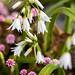 Allium triquetrum & Persicaria capitata, 3.24..20