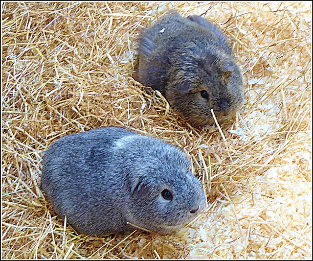 Two Guinea Pigs ...