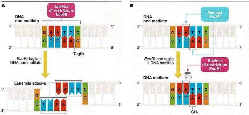 Figura 6 – (A), l'enzima di restrizione EcoR1  (B), il DNA batterico