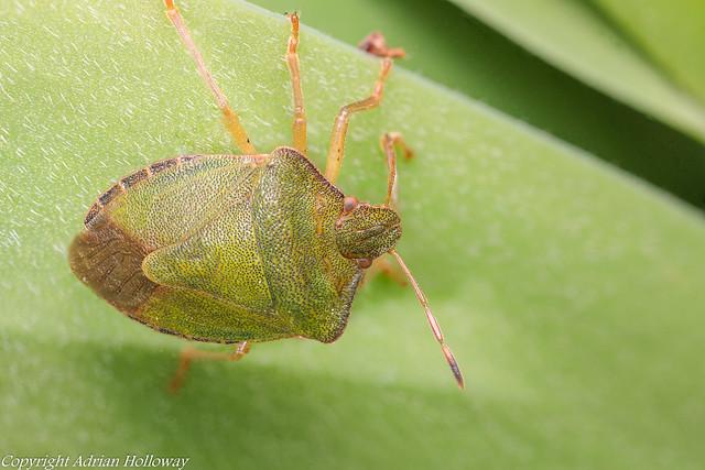 Green Shieldbug.
