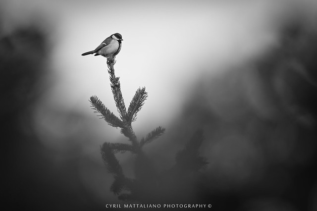 Flickr Mésange charbonnière 302