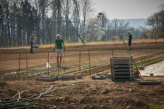 Erste Jungpflanzen und Aufbau des Folientunnels