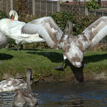 Flapping swans on the canal at Preston