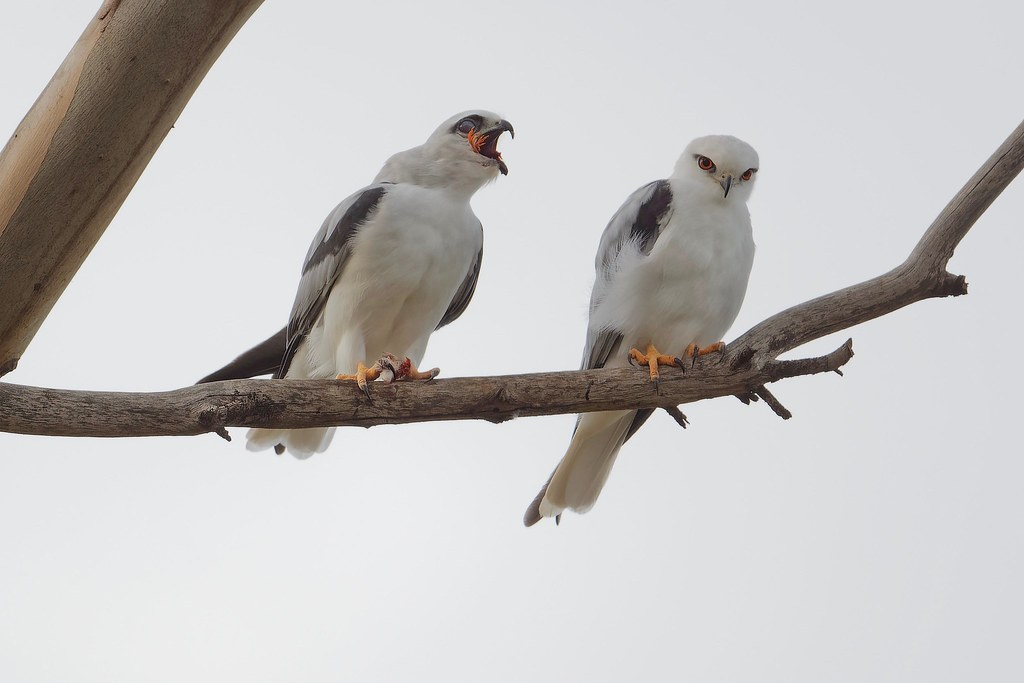 Black-shouldered Kite- The family that eats together
