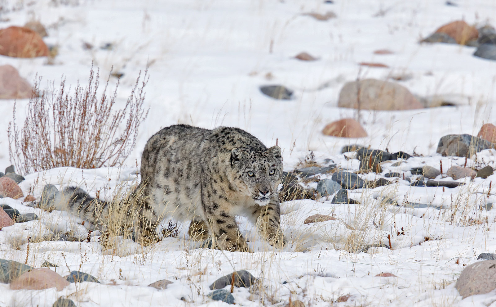 Snow Leopard / Panthera uncia - male