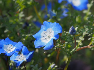 Nemophila menziesii 'Insignis Blue' flowers (baby blue eyes, ネモフィラ 'イニシングブルー') | by Greg Peterson in Japan