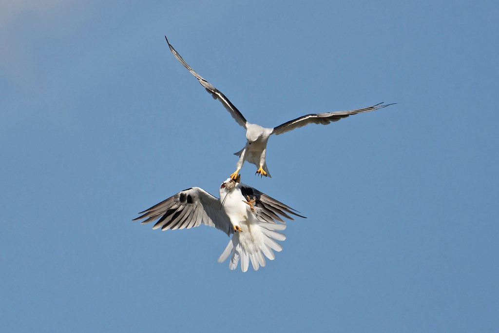 Black-shouldered Kite- Food Transfer