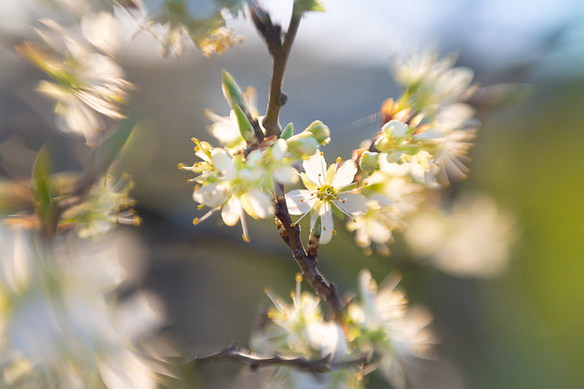 Blossoms of a plum tree shining in the sun