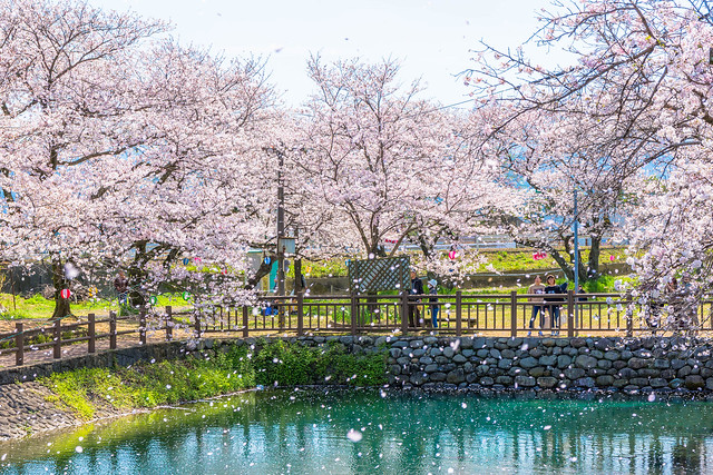 Shower of cherry blossoms