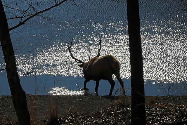 Elk - Splash of Significance