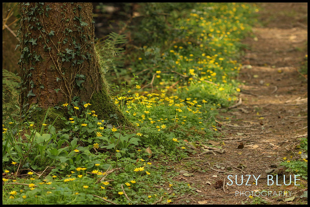 Celandines in the woods