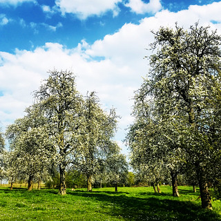 Orchard with old pear trees | by Bim Bom