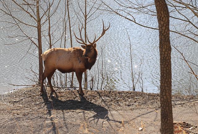 Elk Beauty - Shadow Format
