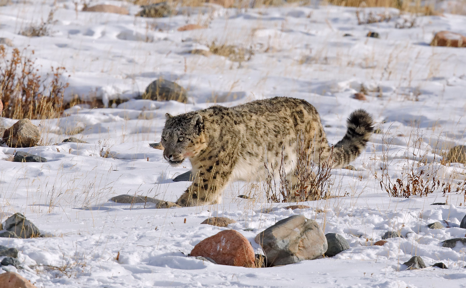Snow Leopard male