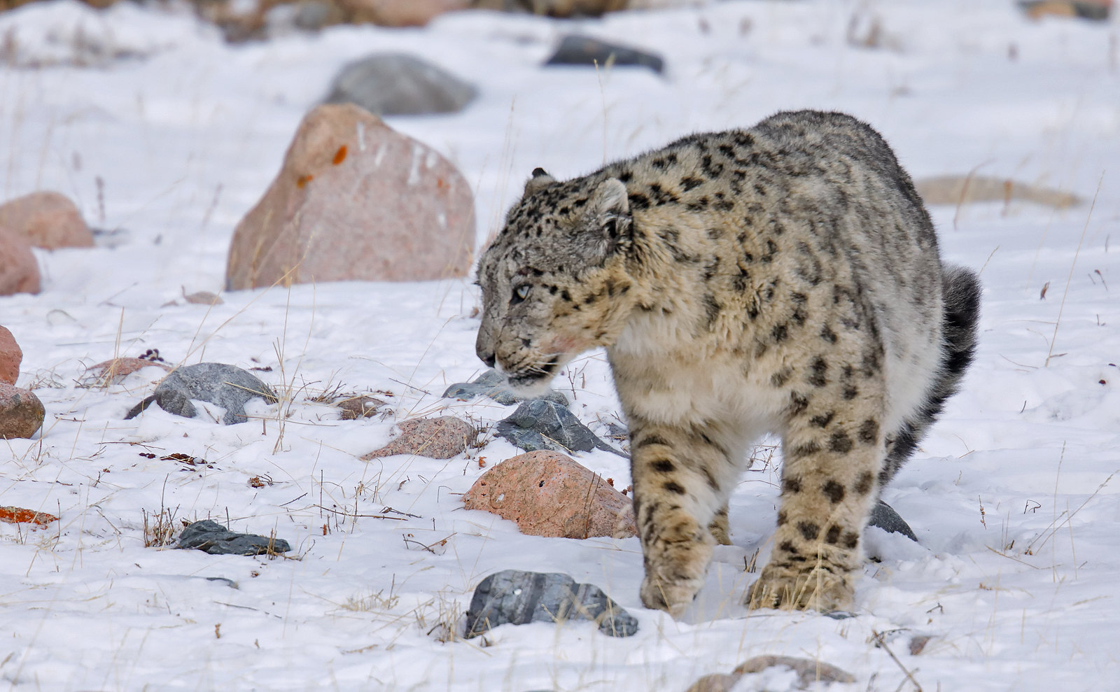 Snow Leopard - male
