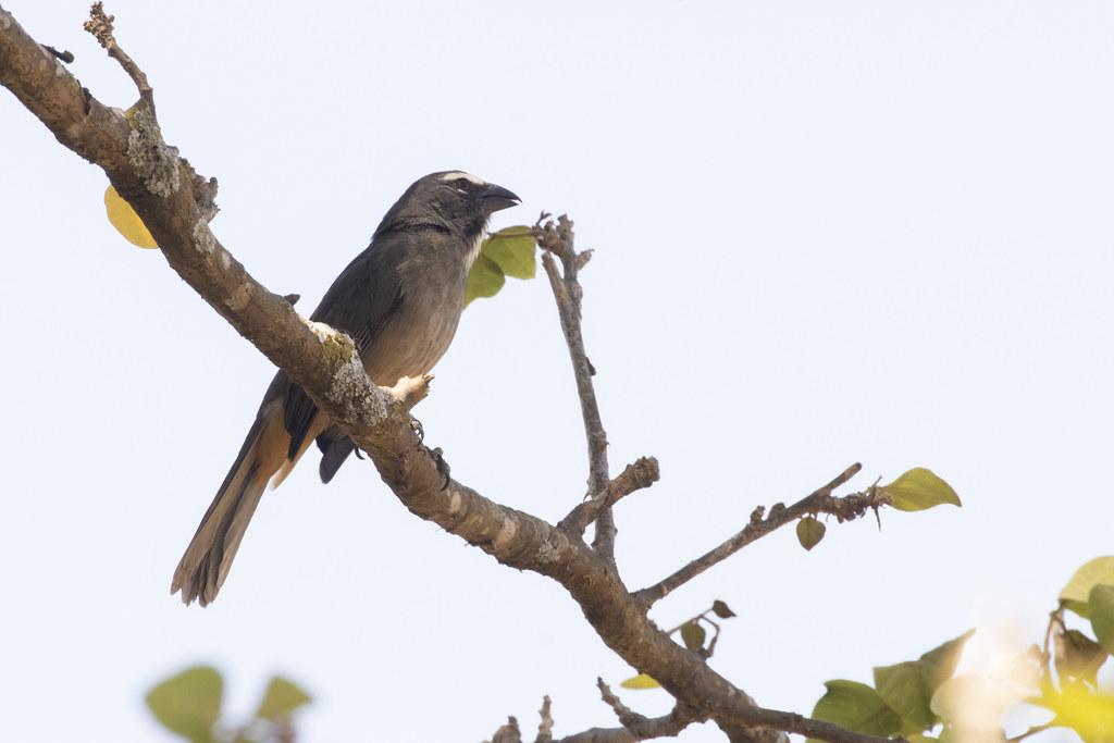 Saltator coerulescens / Grayish Saltator
