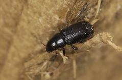 Bark Beetle - Hylastes ater