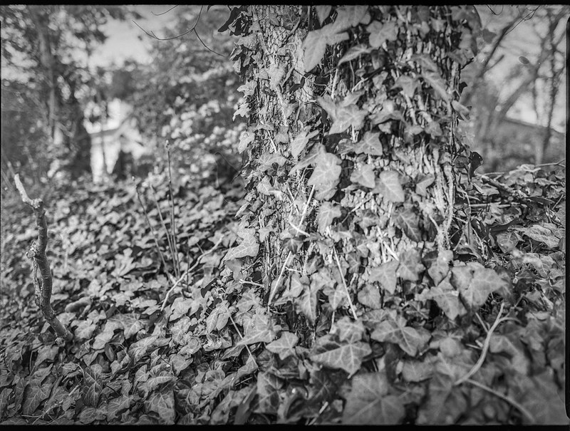 bank of ivy, ivy-covered tree trunk, yard, Asheville, NC, Mamiya 645 Pro, Mamiya Sekor 45mm f-2.8, Kodak Tri-X 400, Moersch Eco film developer, early April 2020