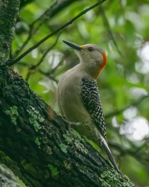 Red-bellied Woodpecker - 1 - 5