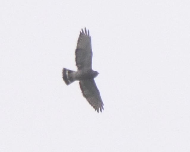 Broad-winged Hawk - 1