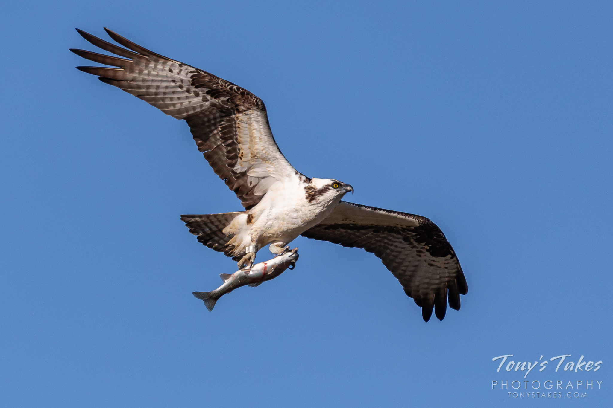 A male osprey returns to its nest with a nice fish. (© Tony's Takes)