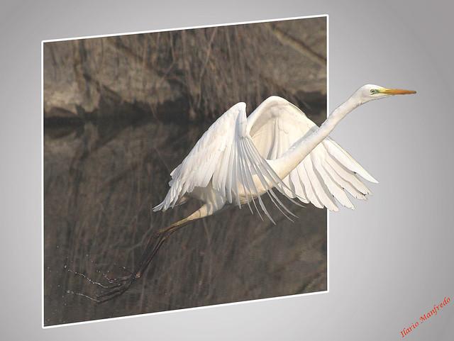 Airone bianco maggiore - Great White Egret - Grande aigrette - Silberreiher -  Grote zilverreiger - Garzota grande - Agretthager ( Egretta  alba ).