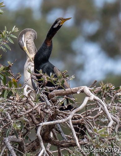 Australian Darter (male and female) | by Jim Scarff