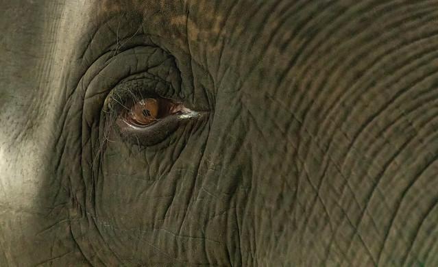 Asian Elephant_