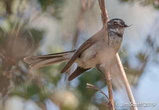Grey Fantail with nest material | by Jim Scarff