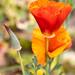 Poppies, 4.9.20
