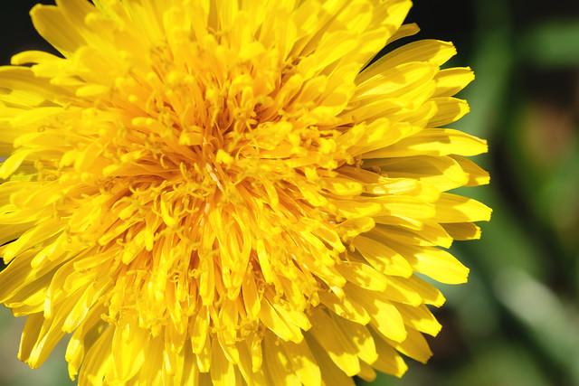 Spring Macro Dandelion