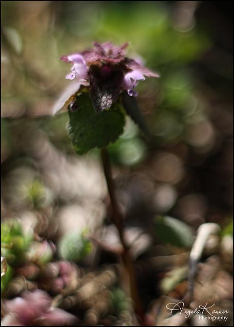 Purple Dead Nettle & Bokeh Bubbles...