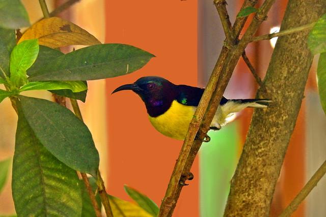 Purple-rumped Sunbird !!