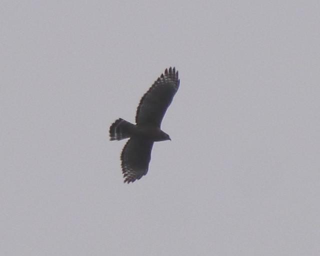 Red-shouldered Hawk - 1 - 2