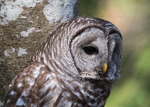 Barred Owl | by nickinthegarden
