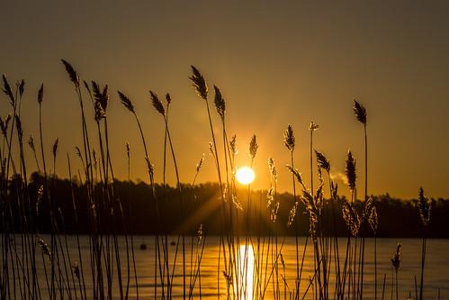 canon6d golden nature outdoors outside grasses reeds sunrise sun espoo finland