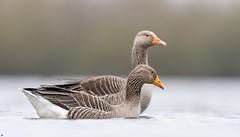 Greylag Geese, Attenborough Nature Reserve.